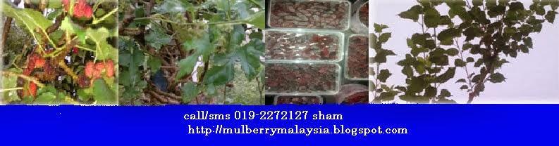 Mulberry Malaysia