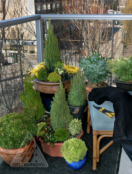 dwarf conifers for containers � vander giessen nursery inc