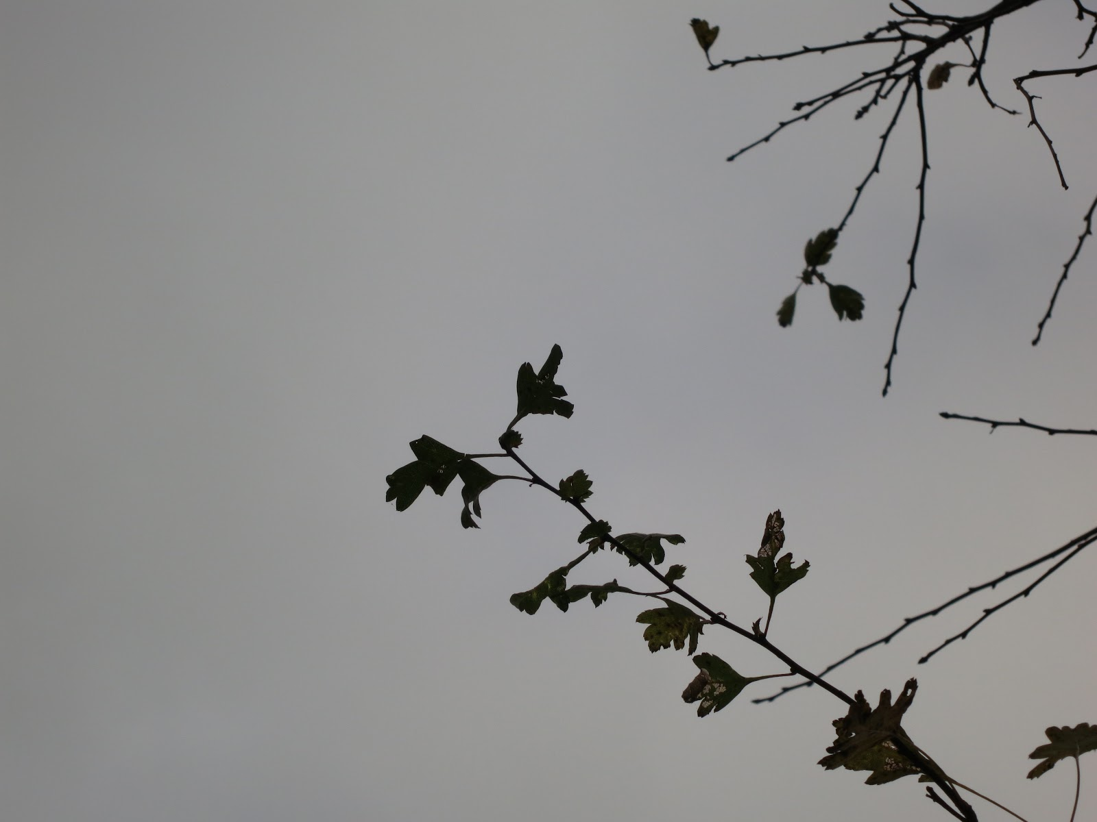 Hawthorn leaves silhouetted against a grey sky.