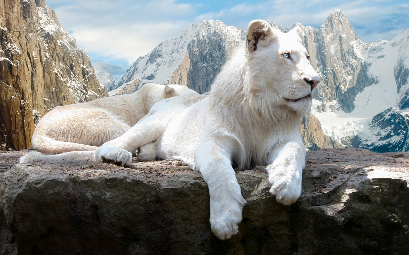 Beautiful WHITE LION Desktop HD Wallpapers