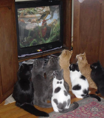 Group of cats staring at the TV watching birds on the nature channel.