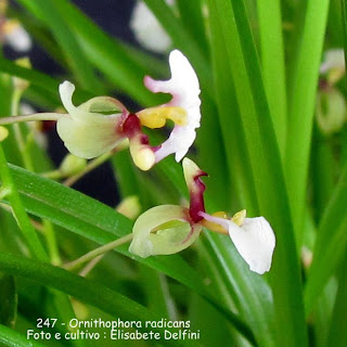 Ornithophora radicans  do blogdabeteorquideas
