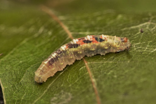 Flower fly larva - syrphid sp.