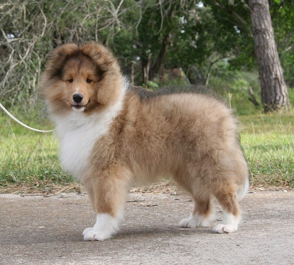 Shetland+Sheepdog+puppies,Shetland+Sheepdog,Shetland+Sheepdog+puppies