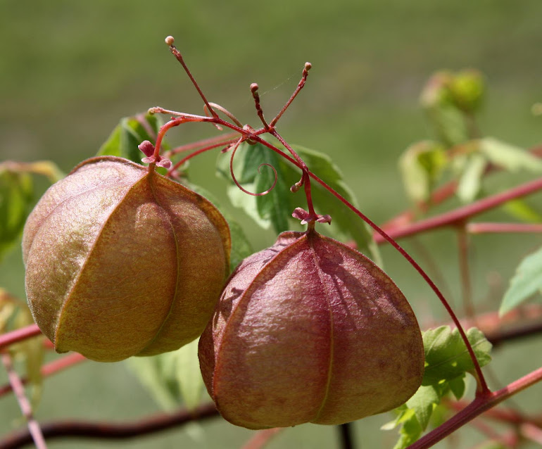 Balloon Vine Pods