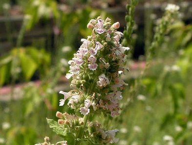 Safe Mint Plants For Dogs Uk