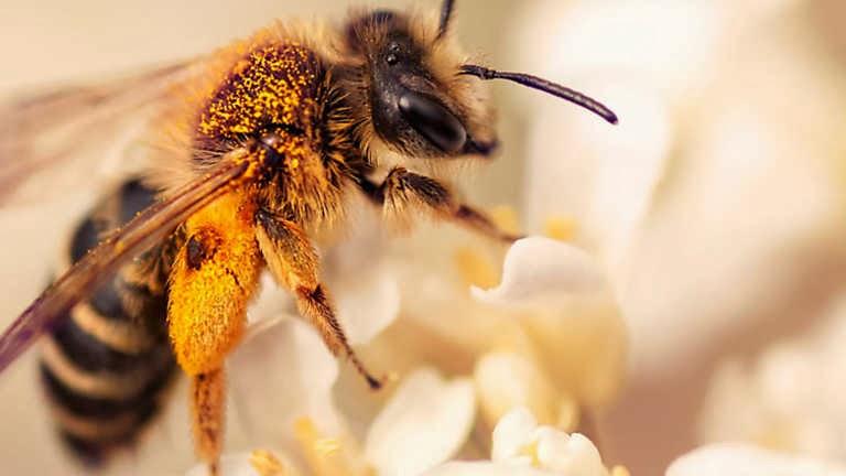 Las abejas en declive
