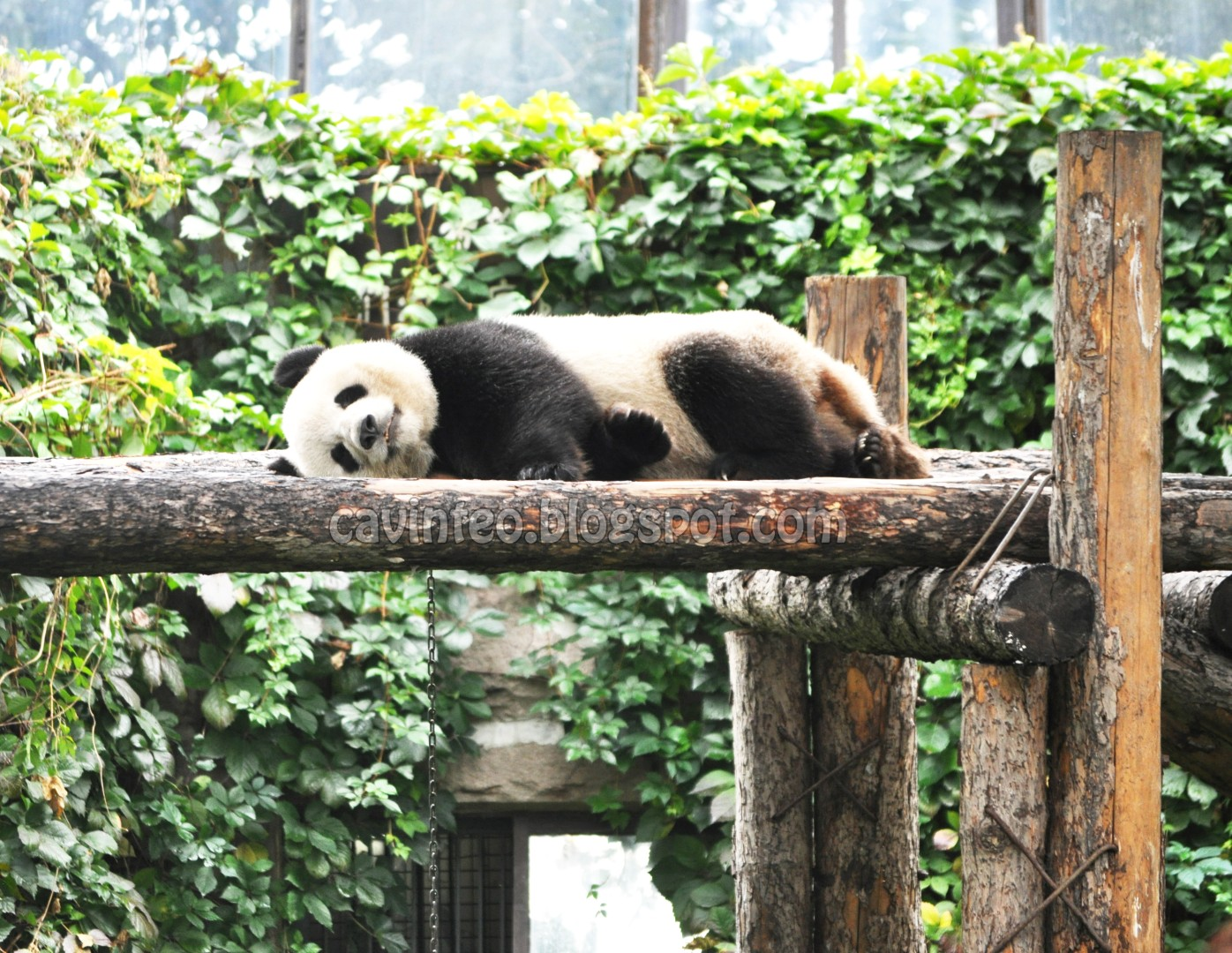 I might have visited the Singapore Zoo the last time it temporarily hosted  the Giant Panda (which was more than ten years ago) but it was so far away  and ...