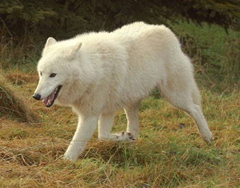 arctic wolf essay View and buy rights managed stock photos at arcticphoto the arctic wolf is long legged and pale in colour and slightly noaa's arctic wolf essay by david.
