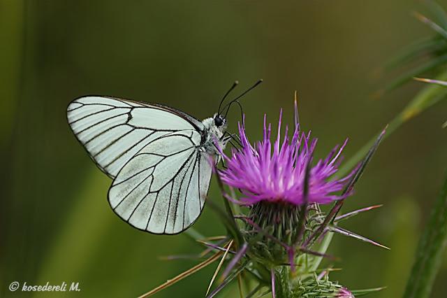 alıç kelebeği ve diken