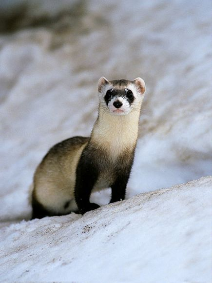 Ferret | Info & Photos 2012 | The Wildlife