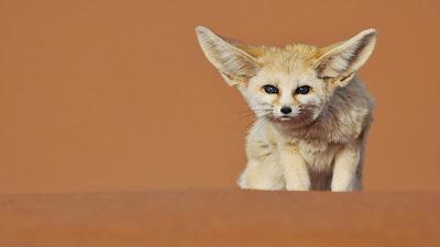 Fennec fox, Merzouga, Morocco (© Juan Carlos Muñoz/age fotostock) 445