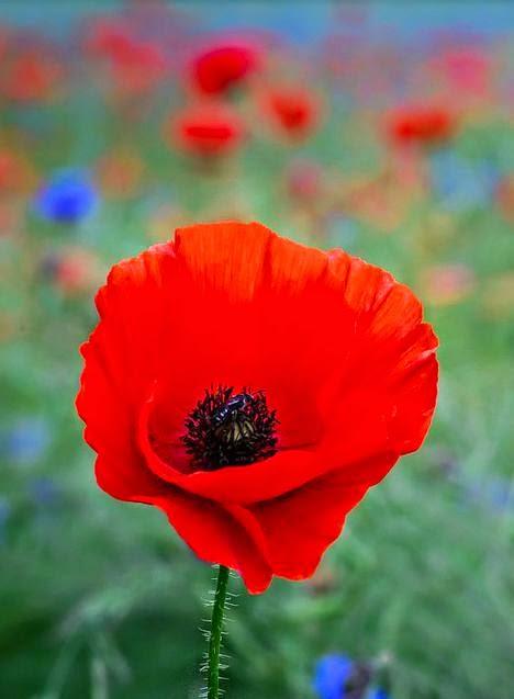 All Stuff A Red Poppy In A Beautiful Wild Flower Meadow