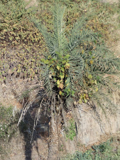a small tree growing on Phoenix sylvestris ( Khajur) tree