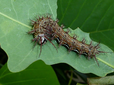 Lemaireodirphia albida caterpillar