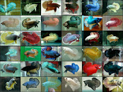 types of betta plakats. Email ThisBlogThis!Share to TwitterShare to