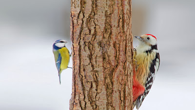 Middle spotted woodpecker and blue tit (© Naturfoto-Online/Alamy) 423