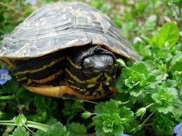 Il giardino delle naiadi tartarughe nel laghetto for Contenitore per tartarughe