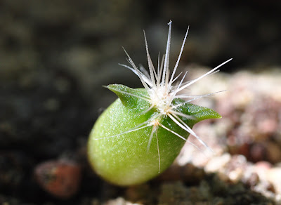 Echinocactus polycephalus seedling growing its first spines