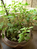 TULSI MAATA (PHOTO WITH THANKS FROM OTHER SOURCE)