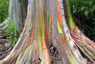 شجرة قوس قزح