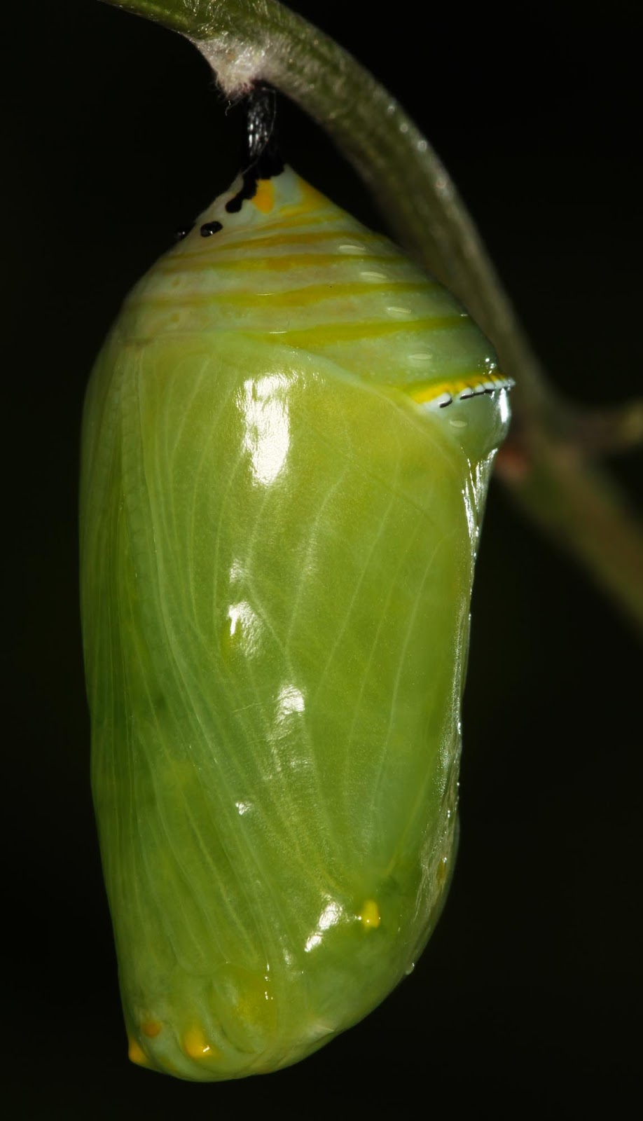 All Of Nature  Monarch Caterpillar Changes To Chrysalis
