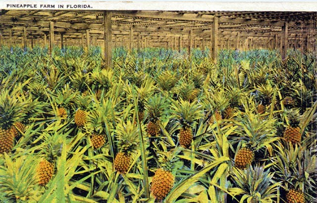 [Image: 15+Pineapple-Farm-in-Florida.jpg]