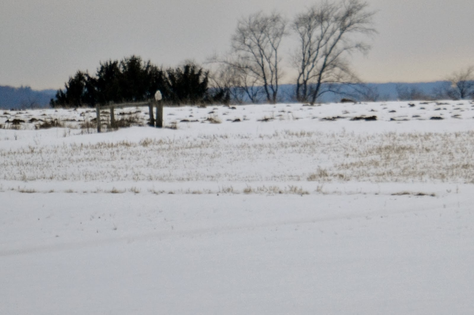 snowy owl on a fence post