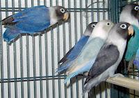 cara ternak burung lovebird