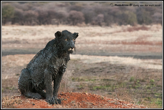 Shukernature Black Lions Manipulation Melanism And Mozaicism