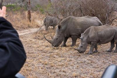 kruger national park africa rhinos