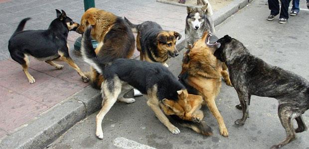 Perros en las calles paceñas