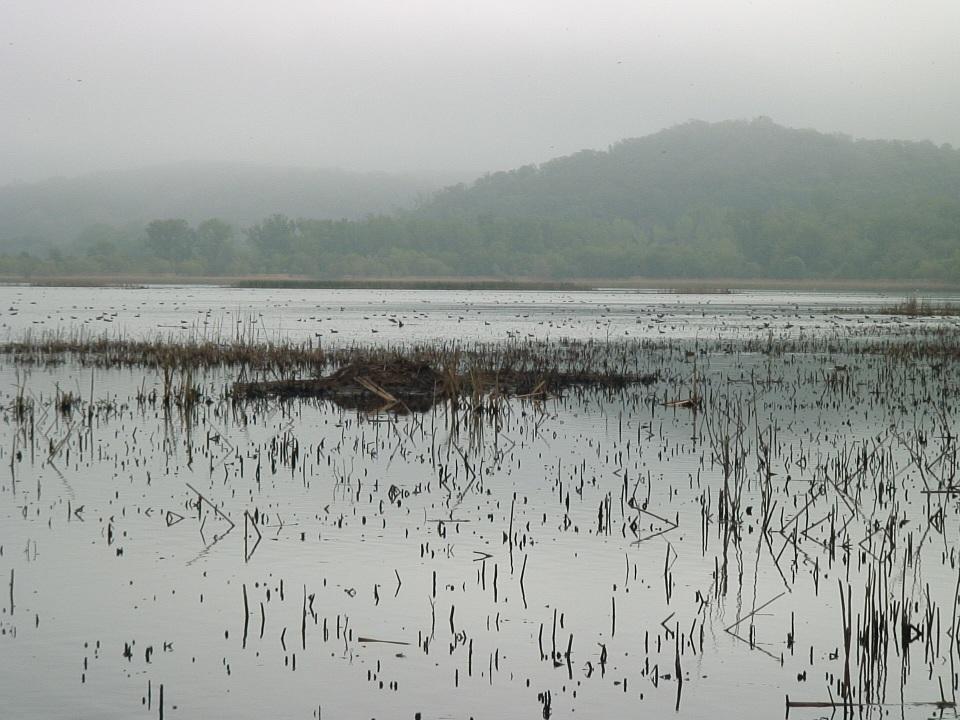 Wildbirds broadcasting mottled ducks in missouri river valley publicscrutiny Gallery