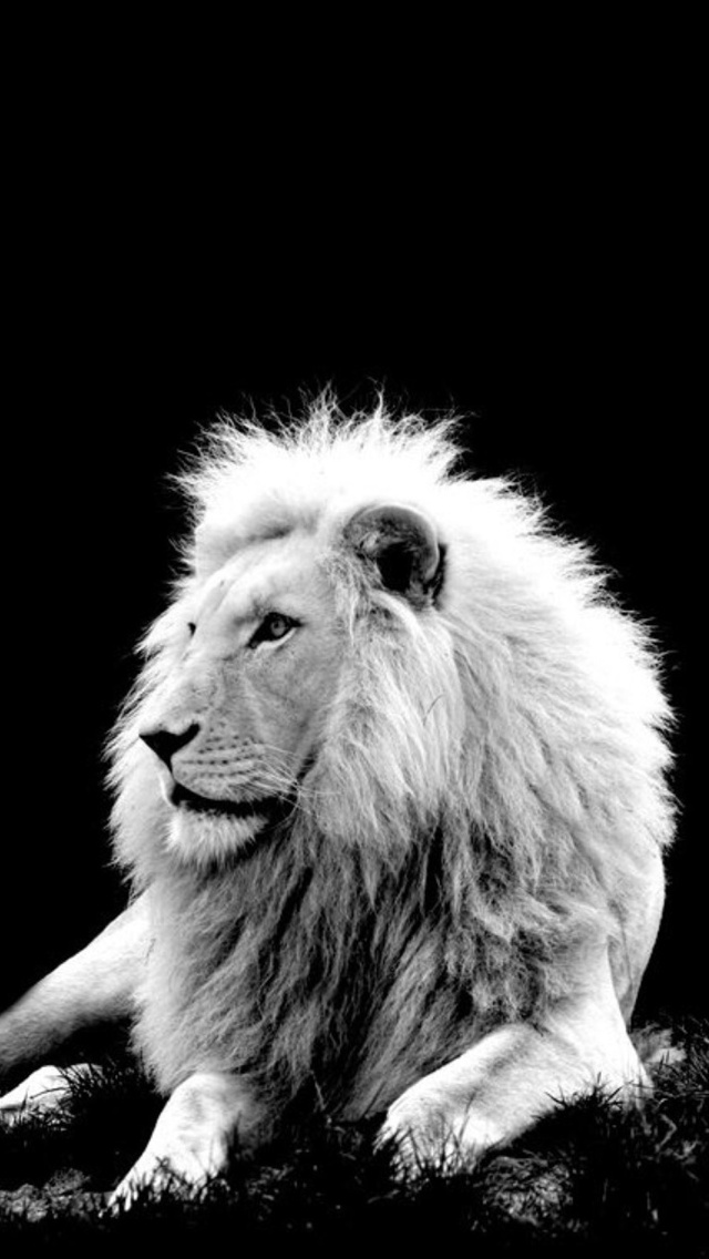 white+lion+iPhone+5+rooteto iPhone 5 Resimleri