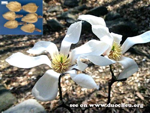 Flos Magnoliae