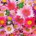 Flores ,ah , as flores