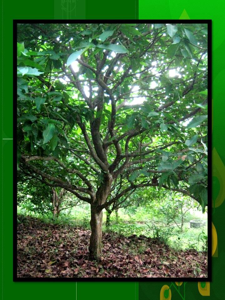 Pohon Jambu PohonJambu2  Twitter