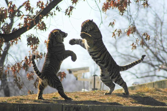 http://3.bp.blogspot.com/_m05TDfLqGs4/TM70oVfAFLI/AAAAAAAAIHk/LJugirs-W-4/s1600/picture-animal-wildlife-tigers-fighting-ucumari-animal.jpg