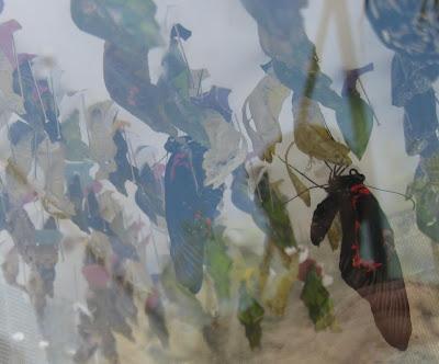 farfalle a tuili