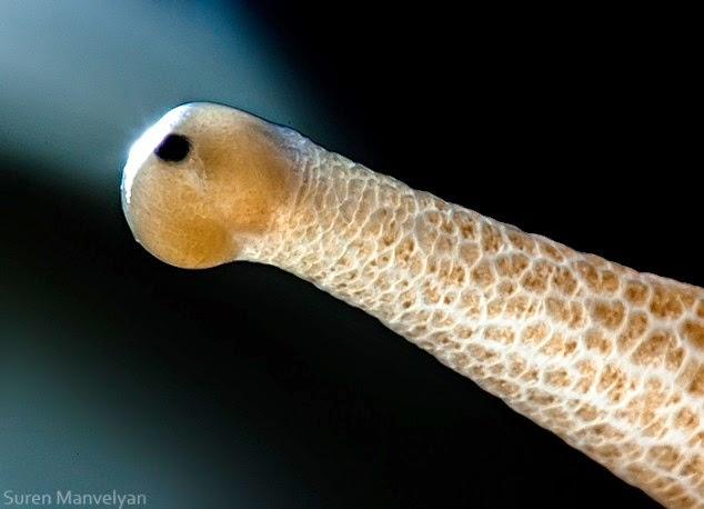 ojo de caracol