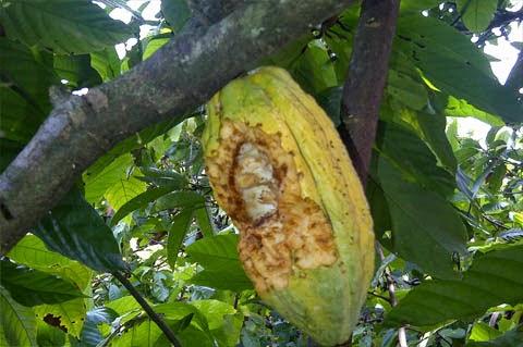 Pengendalian Hama Penyakit Kakao secara Hayati dan Kultur Teknis [+ Gambar]