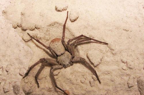 segunda aranha mais nenenosa do mundo