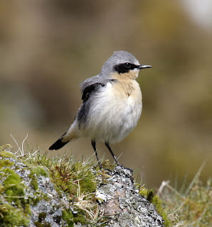 http://en.wikipedia.org/wiki/File:Northern_wheatear_male09.JPG