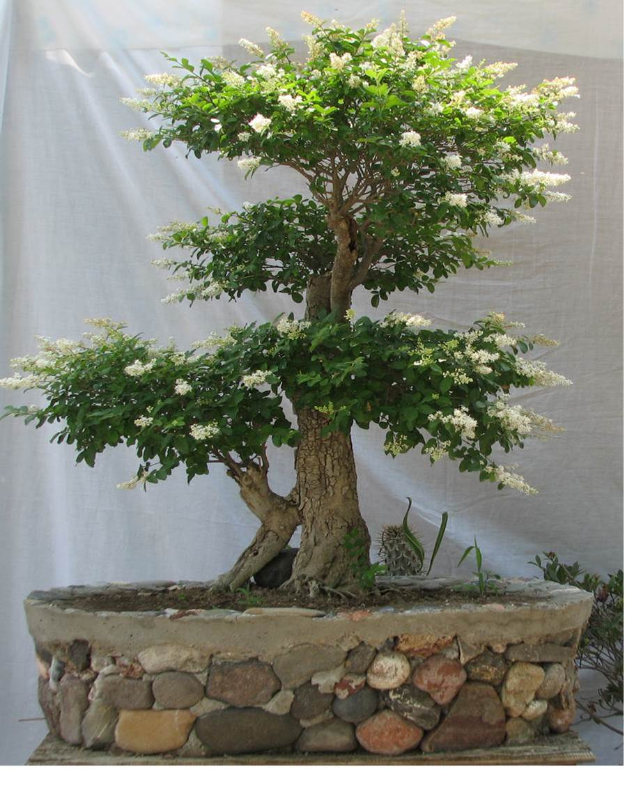 Cuidar un bonsai finest arbol junipero bonsai with cuidar - Como cuidar un bonsai ...