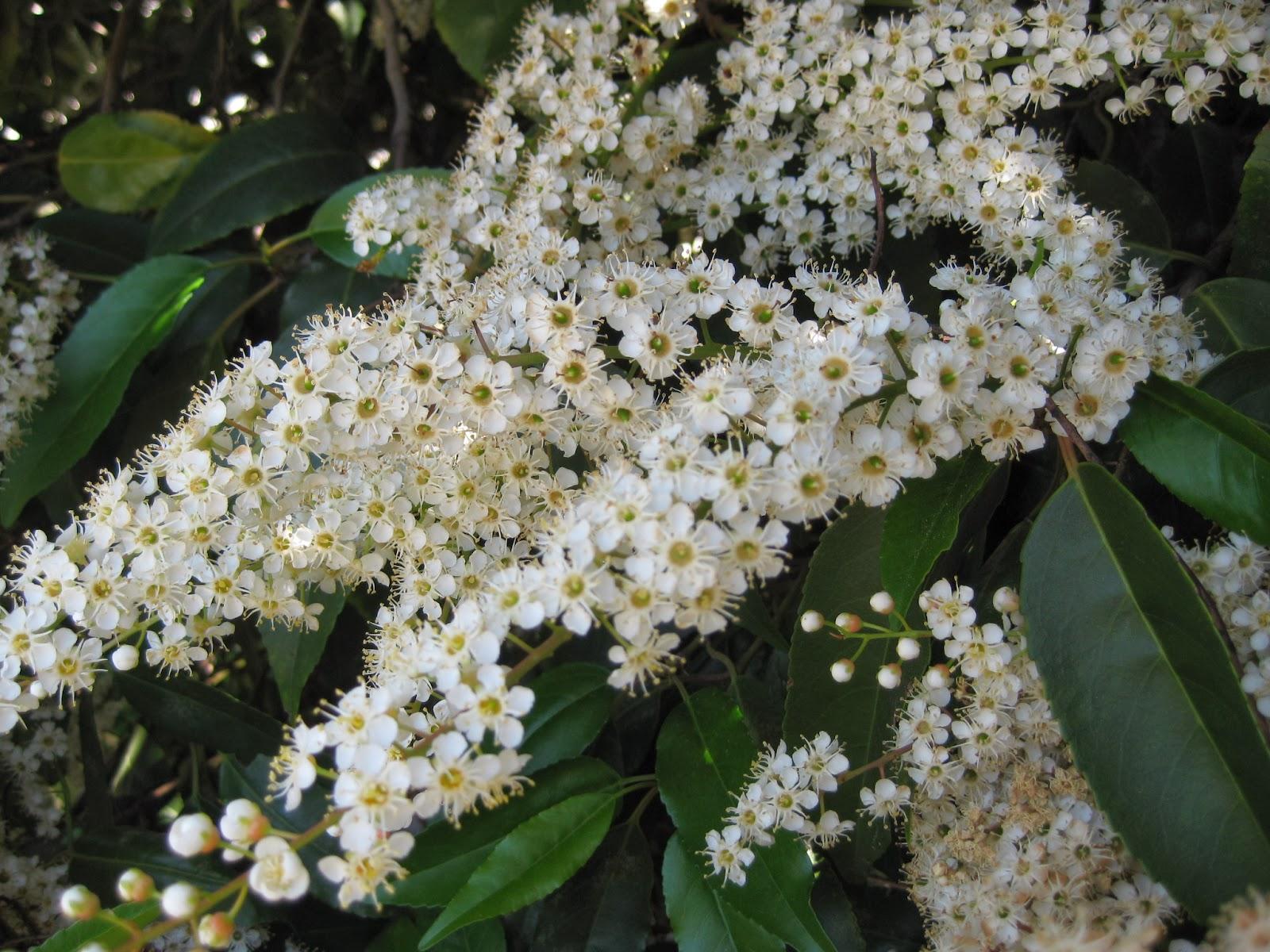 Trees Of Santa Cruz County Prunus Lusitanica Portugal Laurel