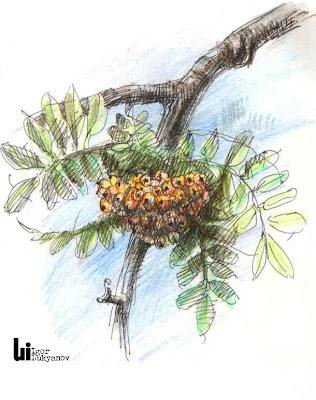 sorbier arbre (dessin croquis de nature)