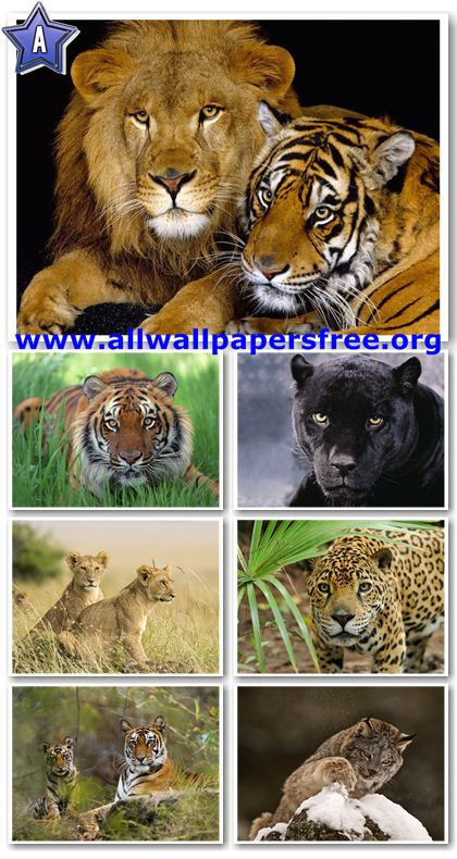 50 Beautiful Wild Cats Wallpapers 1600 X 1200