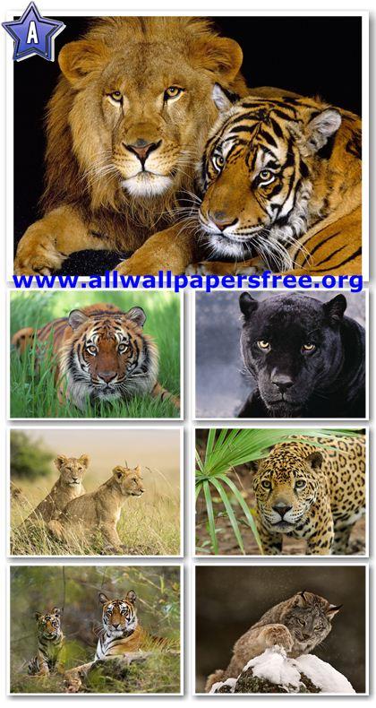 50 Beautiful Wild Cats Wallpapers 1600 X 1200