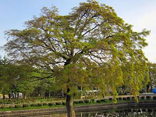 公園のイロハモミジの木
