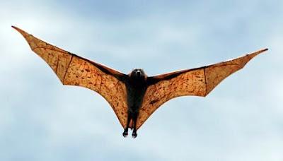 El murciélago más grande del Mundo (Zorro volador filipino).
